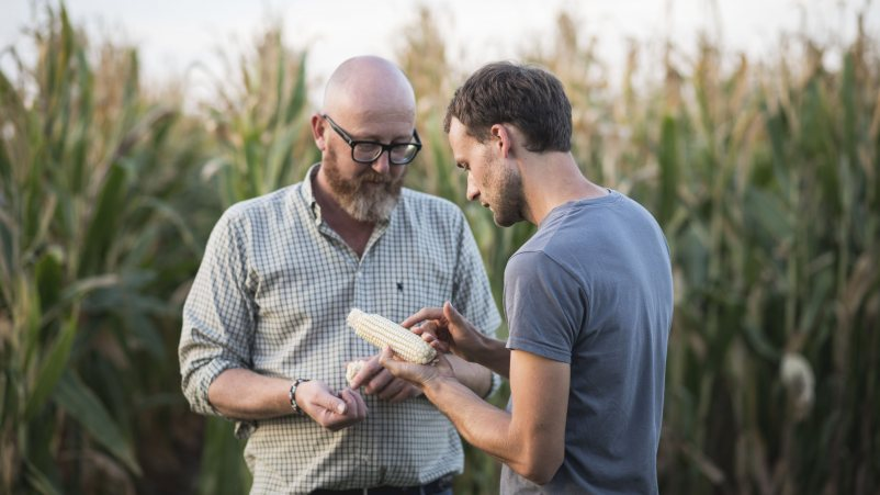 Agronomski strokovnjaki redno preverjajo kakovost žita brez glutena